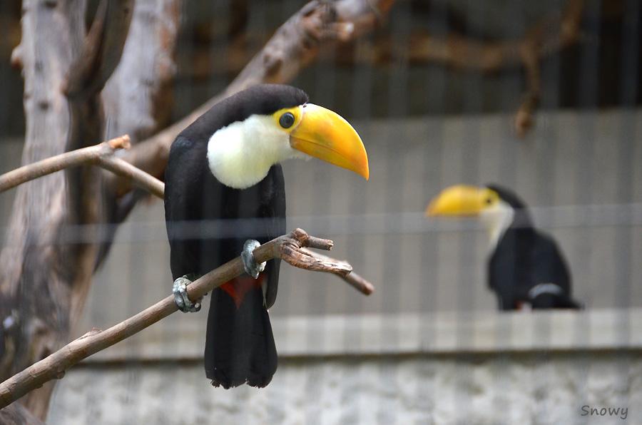 オニオオハシの雛@上野動物園 2012-07-21