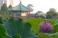 [東京][花]不忍池 2010-07-24 06:01:02