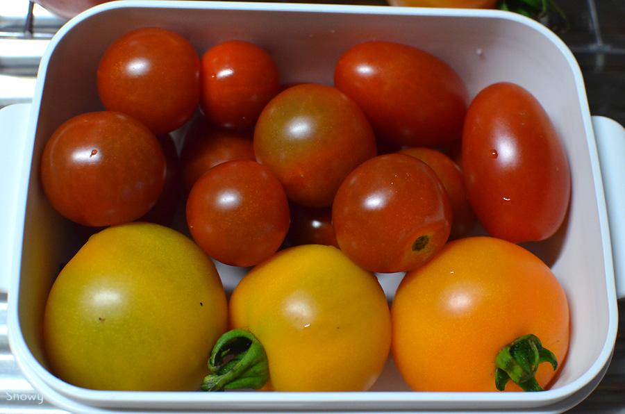 採れたてトマト 2012-07-24