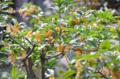[木][花]キンモクセイ 2012-10-17