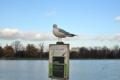 [ロンドン][野鳥]ケンジントン・ガーデンズのラウンド池 2011-12-03