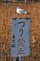 [野鳥]不忍池 2013-01-31
