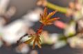 [園芸][盆栽]モミジの盆栽 2013-02-28