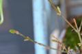 [園芸][盆栽]カエデの盆栽 2013-02-28