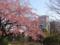 寒桜@憲政記念館 2013-03-21