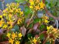 [園芸][花]カランコエ 2013-04-05