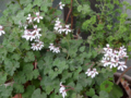 [園芸][花]パイナップルゼラニウム 2013-04-05