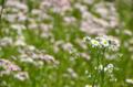 [街角][花]ハルジオン 2013-04-25