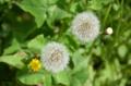 [花]たんぽぽ 2013-04-25