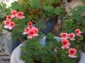 [園芸]2013-05-07 ペラルゴニウム・エンジェルアイズ・オレンジ