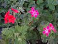 [園芸]2013-05-07 クロリンダ・ゼラニウムとシェルブランド・ゼラニウム