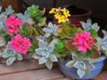 [園芸]2013-05-01 カランコエ