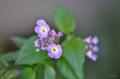 [園芸][花]コバノランタナ 2013-05-16