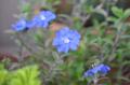 [園芸][花]エボルブルス(アメリカンブルー) 2013-05-16