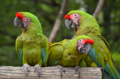 [鳥]ヒワコンゴウインコ@千葉市動物公園 2013-06-19