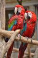 [鳥]ベニコンゴウインコ@千葉市動物公園 2013-06-19