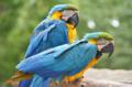 [鳥]ルリコンゴウインコ@千葉市動物公園 2013-06-19