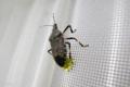 [昆虫]キマダラカメムシの産卵