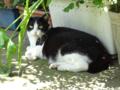[猫]根津 2013-07-06