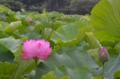 [花]不忍池 2012-07-22
