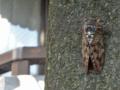 [昆虫]アブラゼミ 2013-08-05
