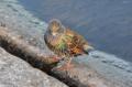 [ロンドン][鳥]ホシムクドリ@ケンジントン・ガーデンズ 2011-12-03