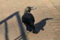 [鳥]ハシブトガラス@上野 2010-12-18