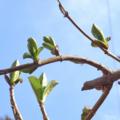 [植物]紫陽花 2014-03-10