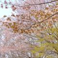 [花]2014-04-16@高尾山