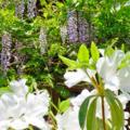 [花]根津 2014-04-23