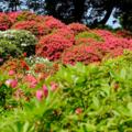 [花][東京][神社]根津神社 2014-04-23