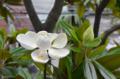 [花]タイサンボク 2014-06-28 10:46