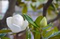 [花]タイサンボク 2014-06-28 06:30