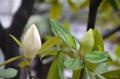 [花]タイサンボク 2014-06-27 06:28
