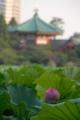 [東京][花]2010-07-24@不忍池