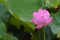 [花]2012-07-22@不忍池