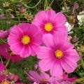 [花]秋桜@国営ひたち海浜公園 2014-10-12