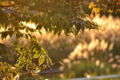 [葉][夕焼け]夕暮れの葉っぱ 2014-10-08@秋田市