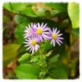 [花]高尾山 2012-11