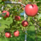 りんご園 2014-10-09