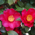 [花]椿 2014-02-22