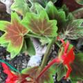 [園芸]モミジ葉ゼラニウム