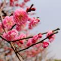 [花][梅]2017-02-14 太宰府天満宮にて