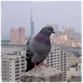 [鳥][福岡]鳩