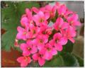 [園芸][花]カランコエ