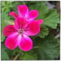 [園芸][花]クロリンダ・ゼラニウム