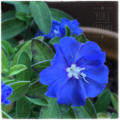 [園芸][花]アメリカンブルー(2017-05-18)