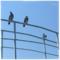 名柄川の鳩 (2017-05-22)