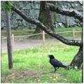 [鳥][公園]ハシボソガラス@福岡城跡(2017-07-19)