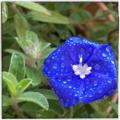 [園芸][花]エボルブルス(アメリカンブルー)